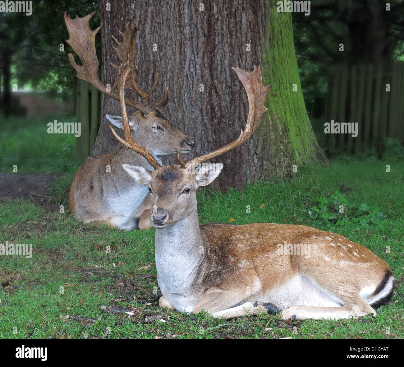 WA14,4SJ,WA144SJ,NT,national,Trust,park,deerpark,wild,tame,sitting,with,antlers,antler,majestic,beast,beasts,natural,pose,environment,GoTonySmith