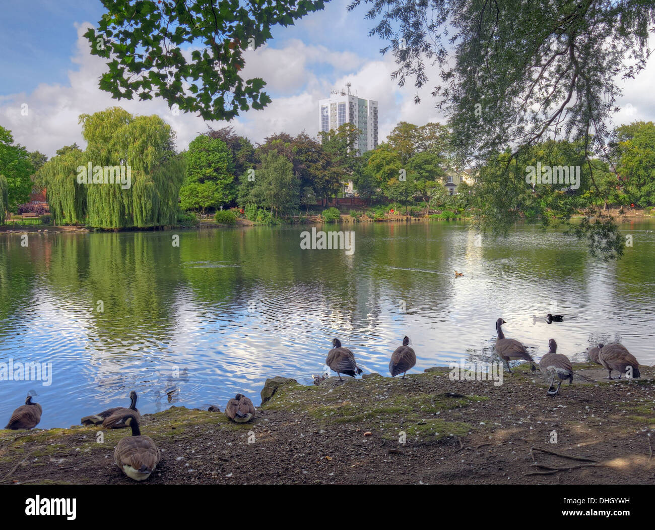 England,UK,GB,Victorian,public,park,conservation,area,Lake,Company,white-clawed,crayfish,was,discovered,in,Hatherton,Lake,rare,crayfish,cray,fish,ducks,geese,goose,water,trees,summer,2013,tower,block,CESP,Austin,house,solar,PV,eco,green,Lichfield,Street,gotonysmith,Black,Country,Buy Pictures of,Buy Images Of,Black Country,Walsall Black Country