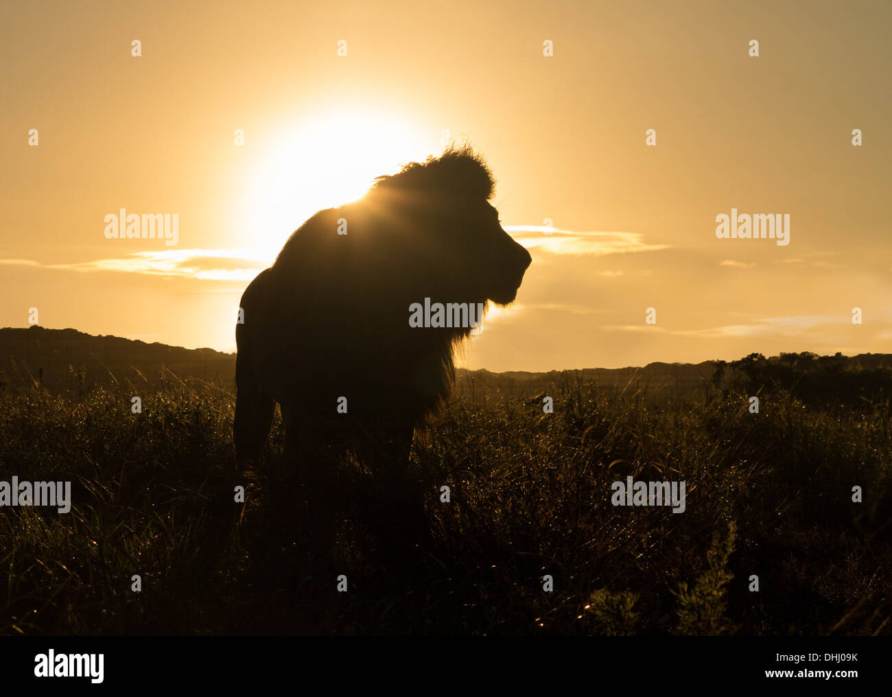 Silhouette of an old large male lion in the savannah in South Africa at sunset - Stock Image