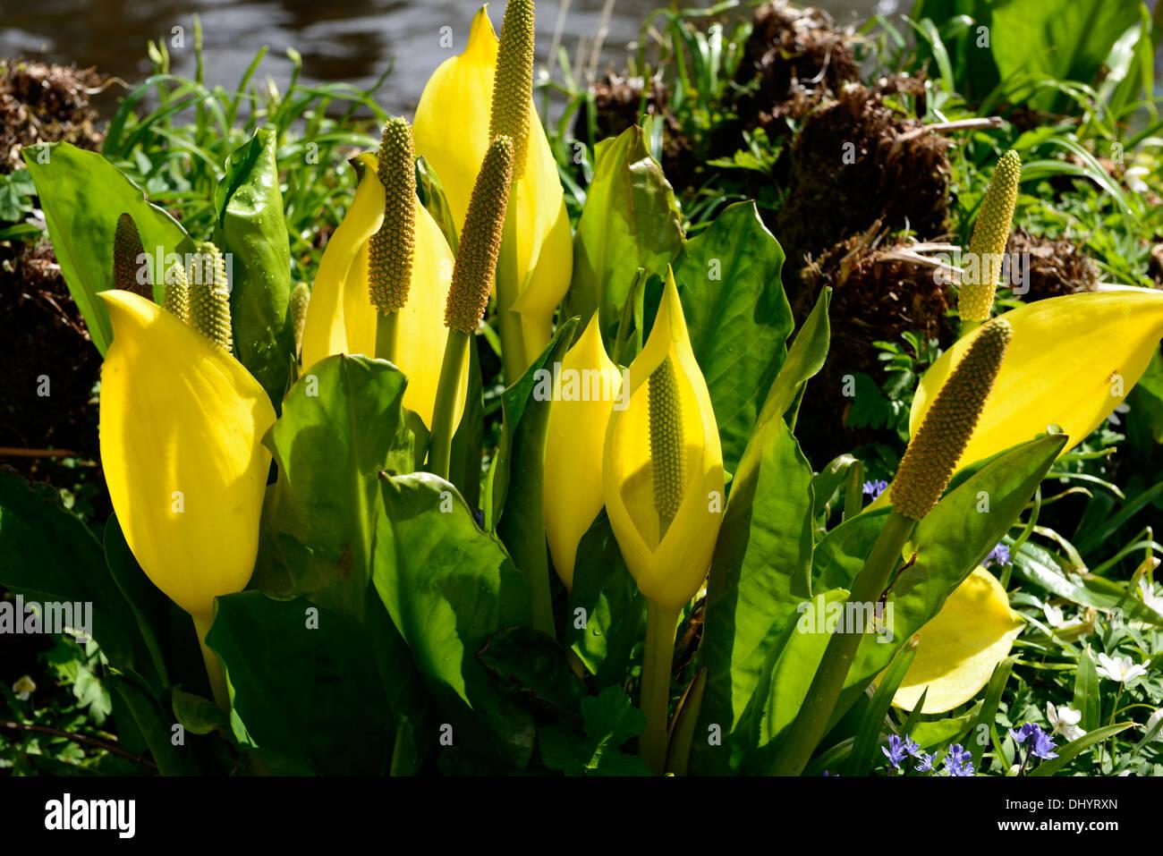 Lysichiton americanus yellow skunk cabbage flowers flowering bloom lysichiton americanus yellow skunk cabbage flowers flowering bloom blooming spring perennials bog water aquatic plants mightylinksfo