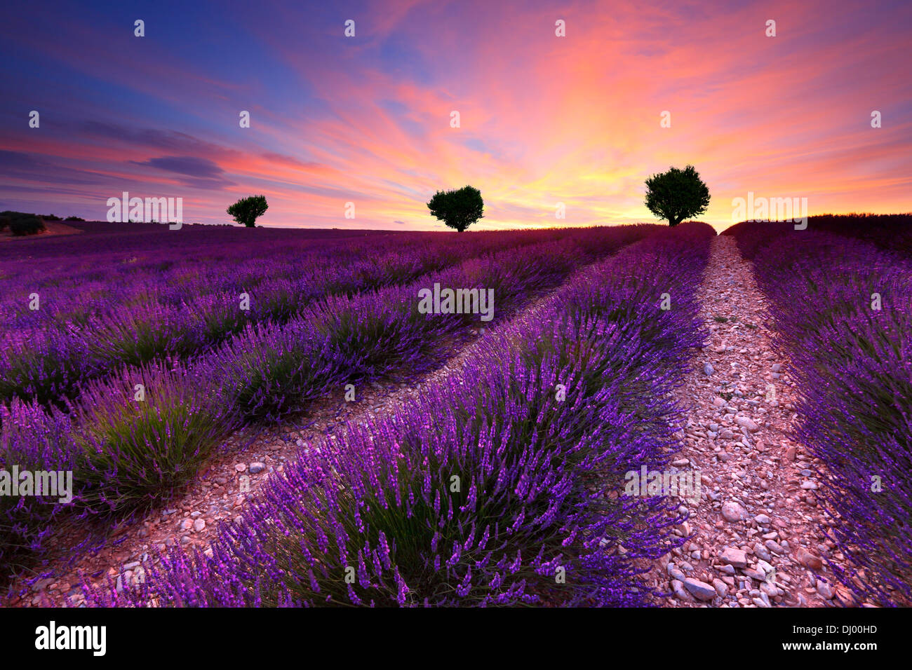 Three on the hill in lavender field at sunset. France Provence. - Stock Image