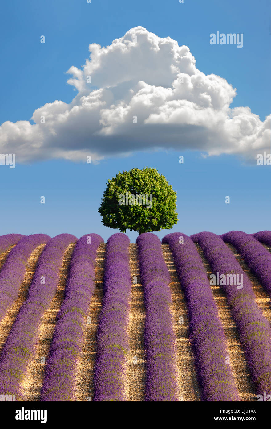Lavender field, Provence - Stock Image