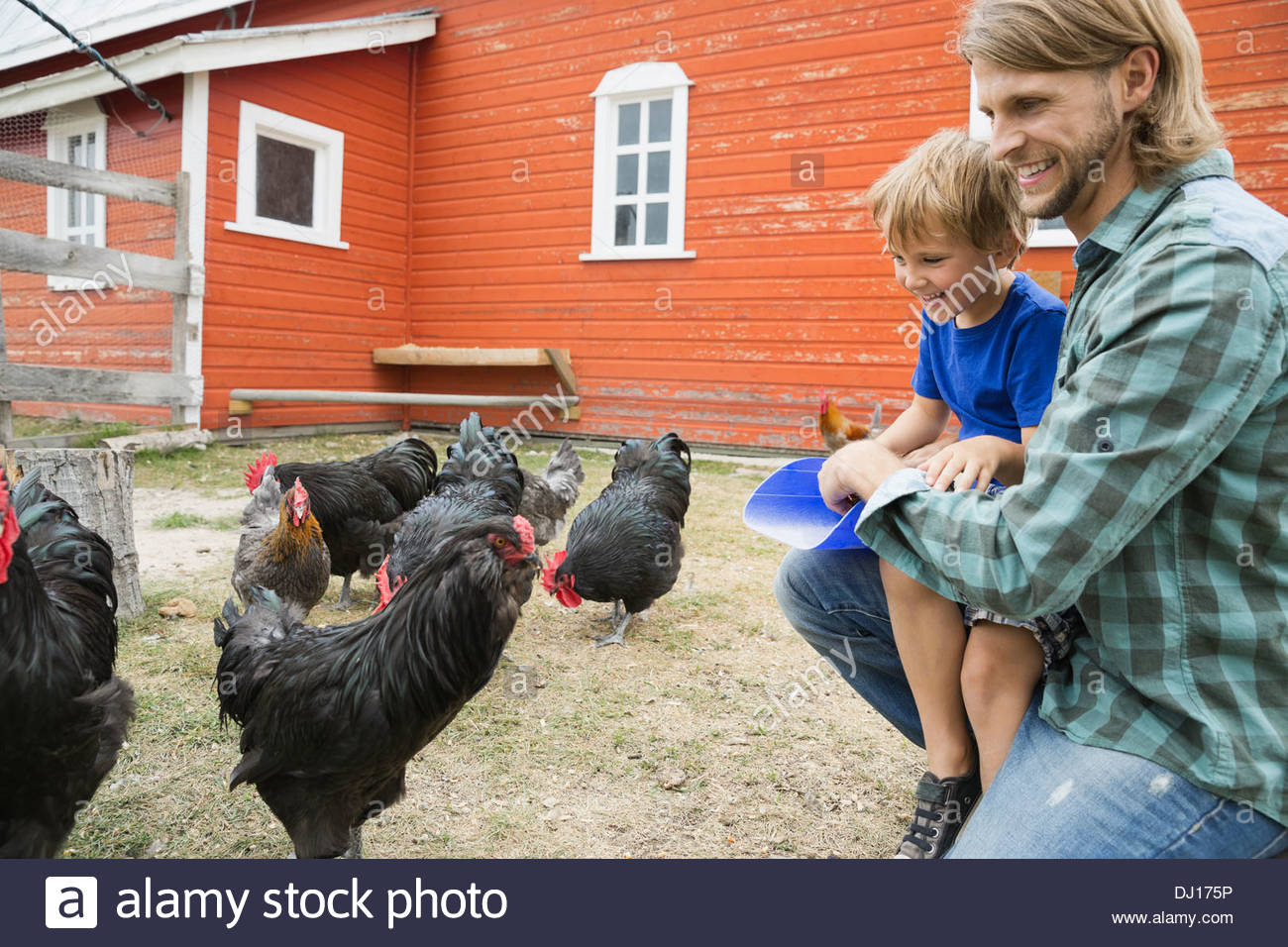 Father and son feeding chickens on farm - Stock Image