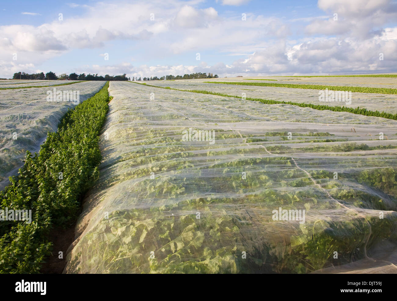 Protecting fleecing covering turnip crop in field Hollesley, Suffolk, England - Stock Image
