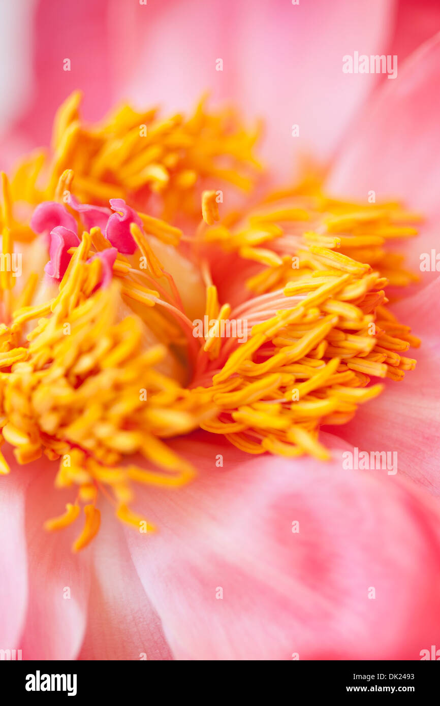 Full frame high angle close up detail of pink peony with yellow center - Stock Image