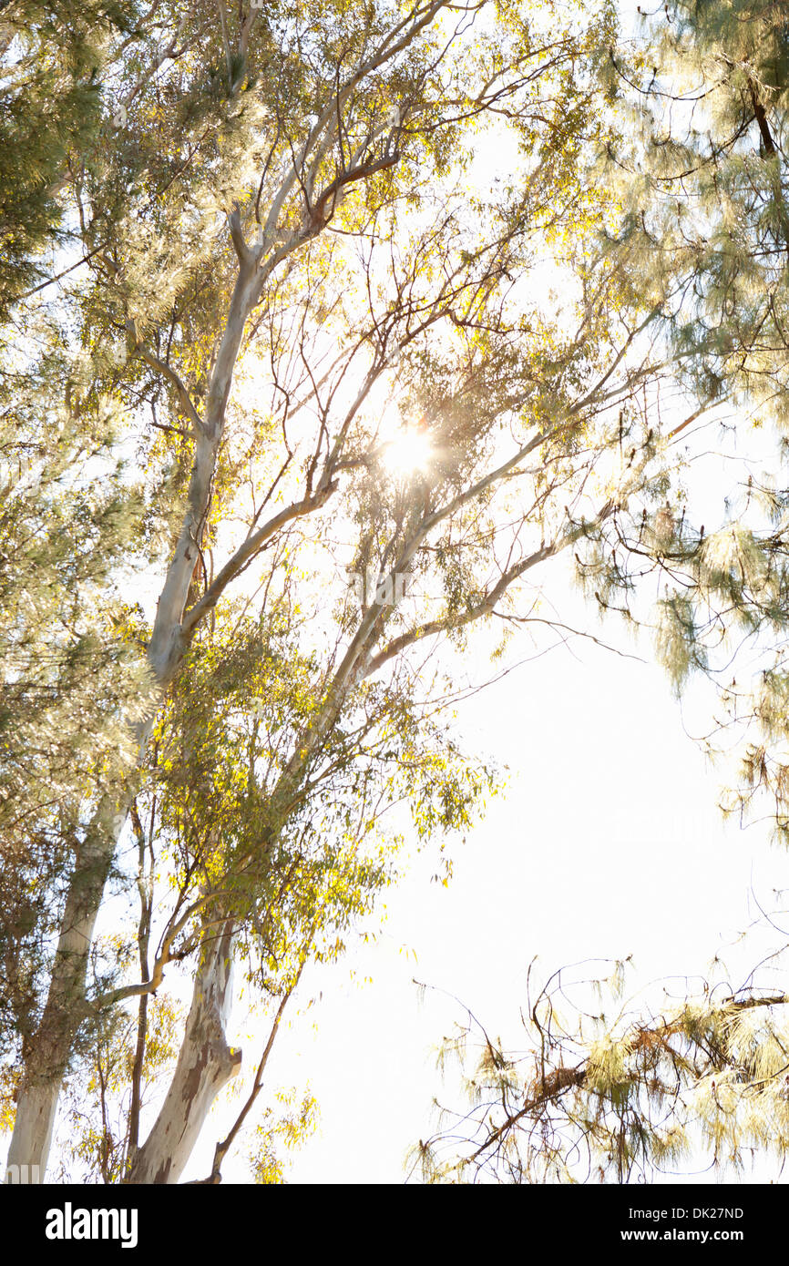 Low angle view of sun shining behind tall eucalyptus trees - Stock Image