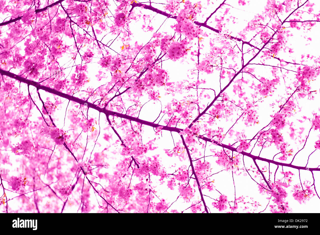 Close up low angle view of pink cherry blossoms on spring branch - Stock Image