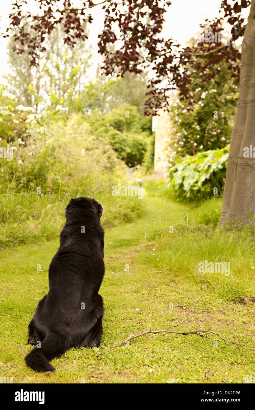 Black dog waiting on garden path - Stock Image