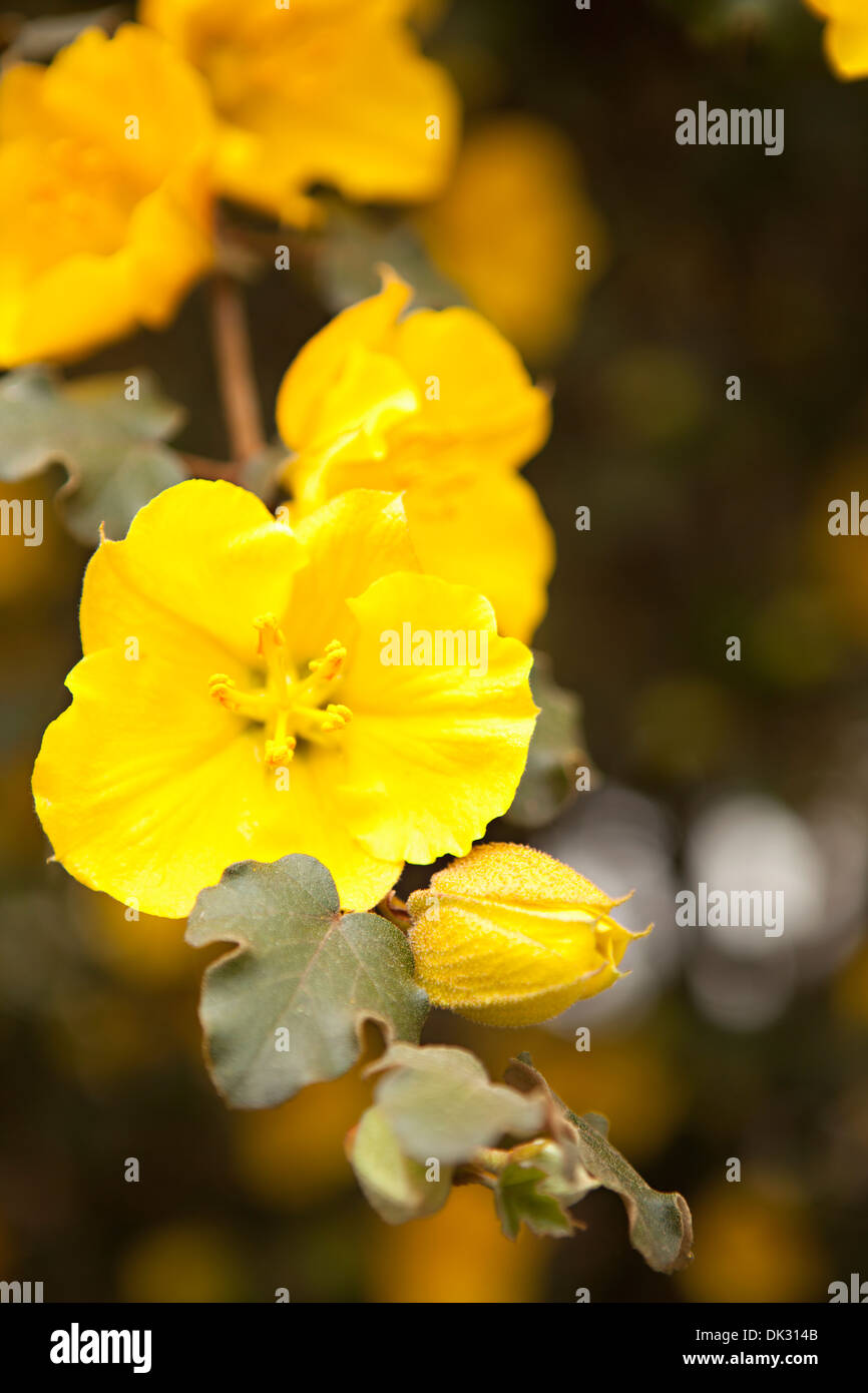 High angle close up of vibrant yellow flower and bud on branch - Stock Image