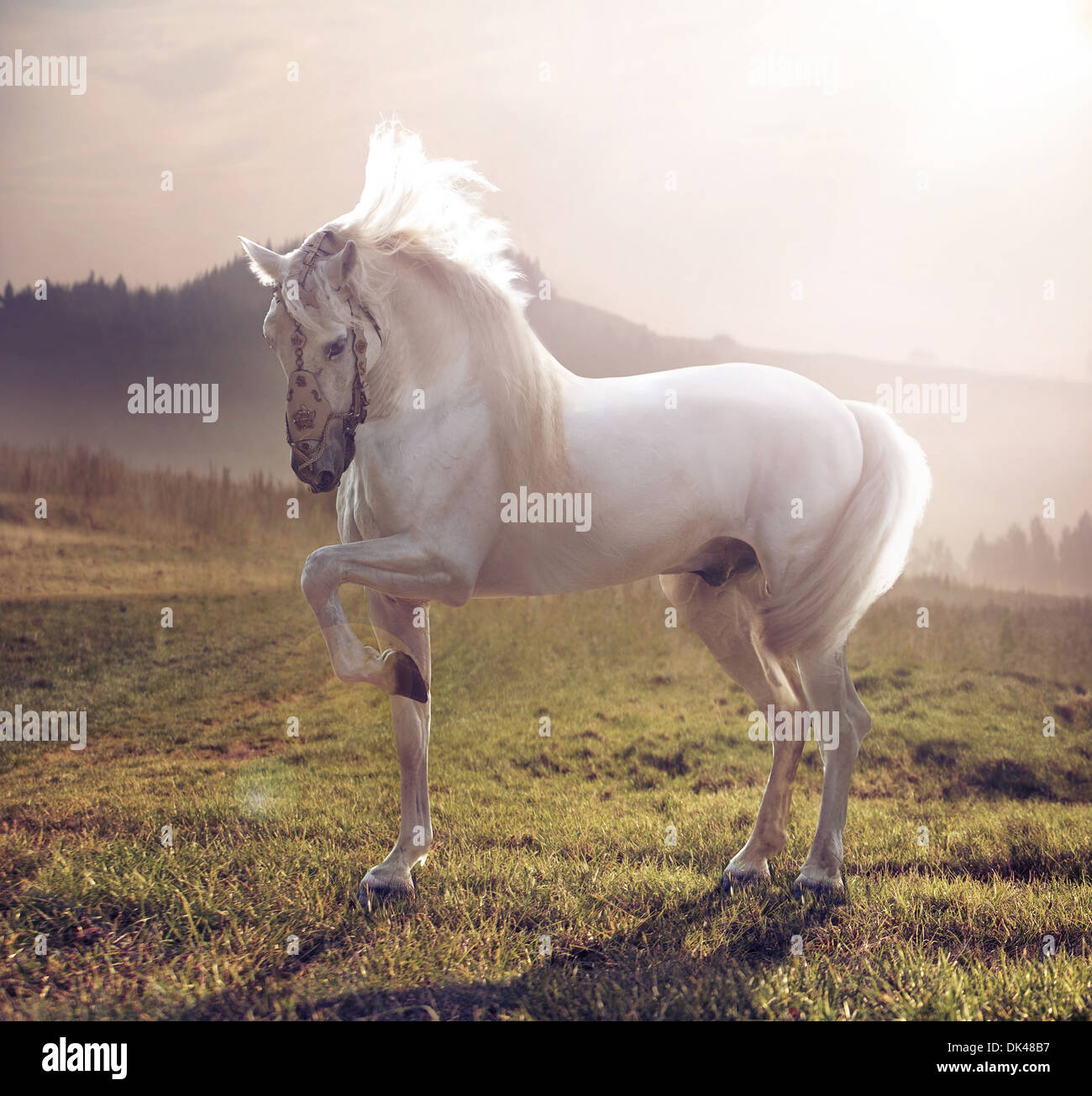 Picture of majestic white arabian horse - Stock Image