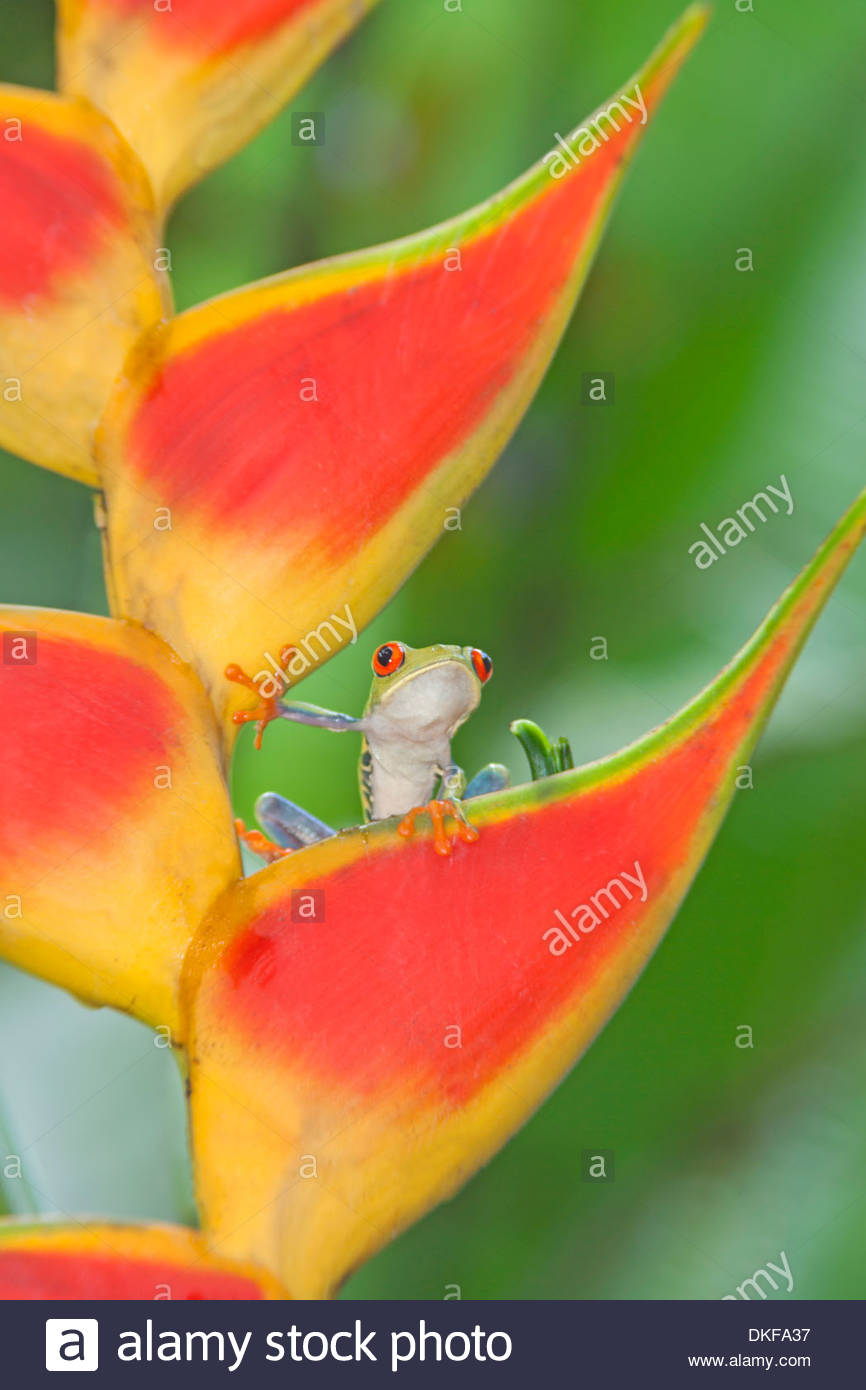 Red-eyed tree frog (Agalychnis callidryasAgalychnis callidryasAgalychnis callidryas) on colorful leaf, Costa Rica - Stock Image
