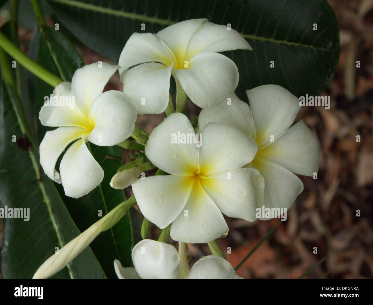 Cluster Of White Frangipani Flowers With Yellow Centres Plumeria