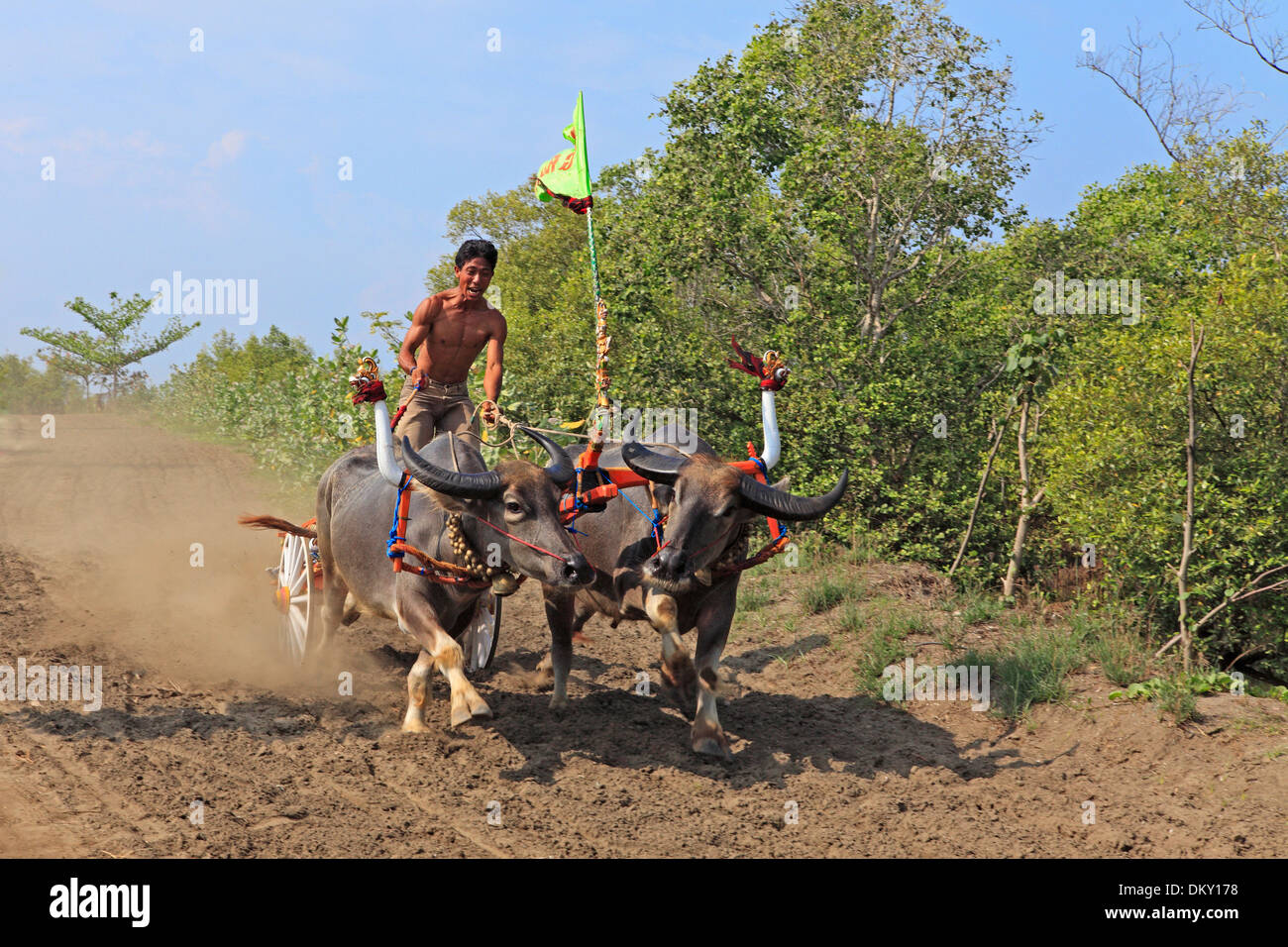 traditional-racing-of-bull-water-buffalo-negara-west-bali-indonesia-DKY178.jpg