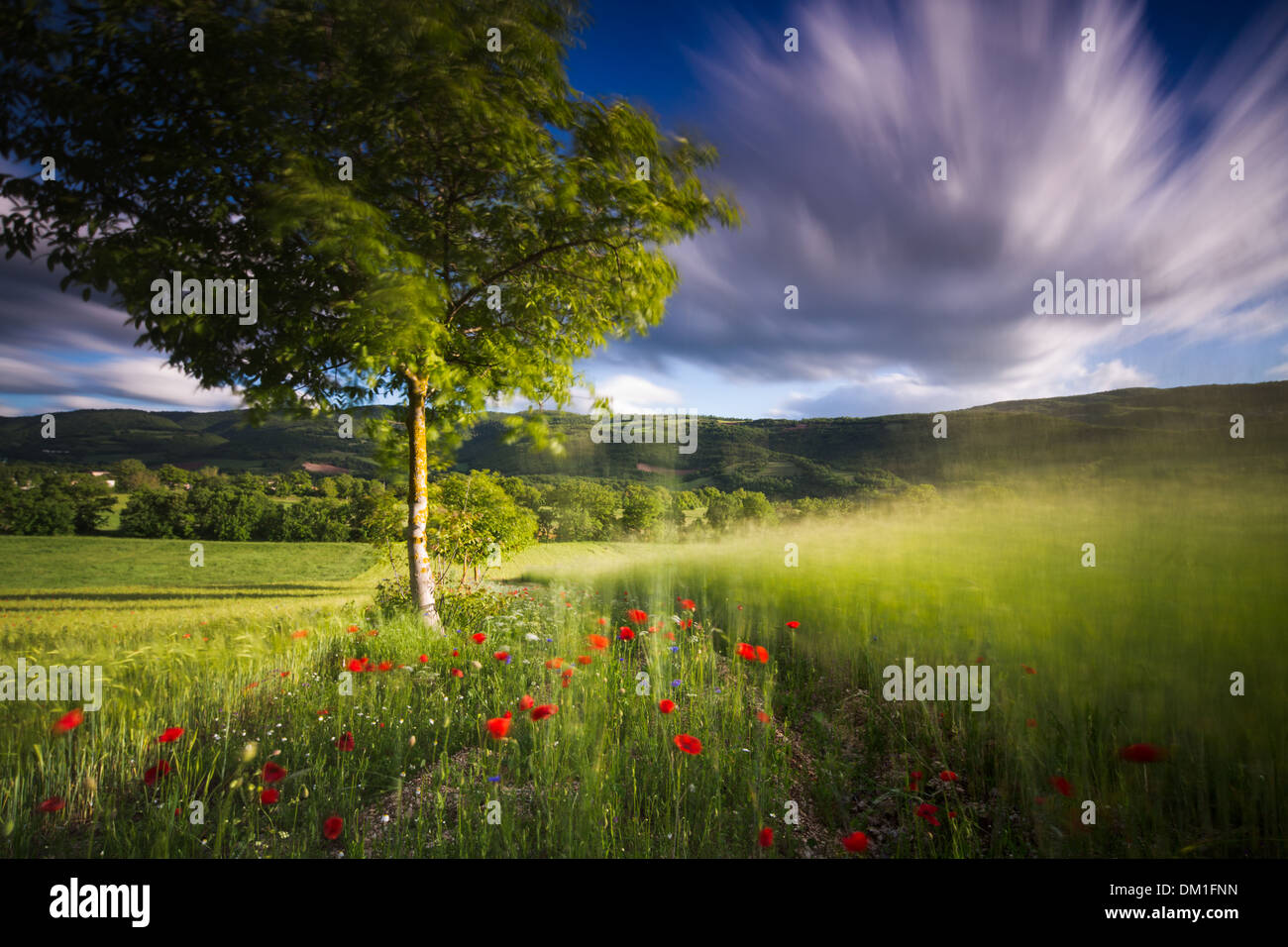 poppies in a field of barley near Campi, Valnerina, Umbria, Italy - Stock Image