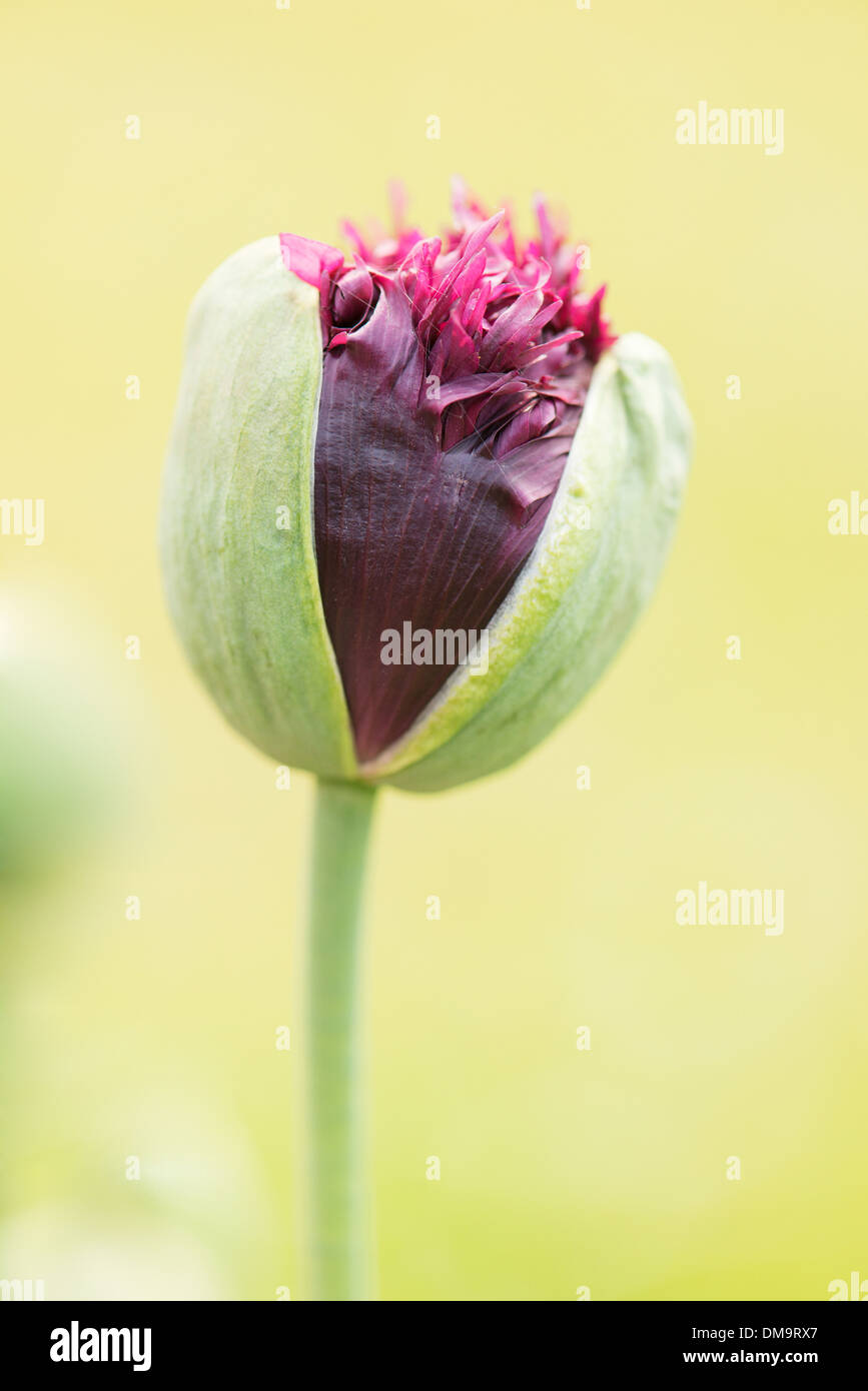 Close Up Of Poppy Flower Bulb Opening Up Conceptual Image Of New