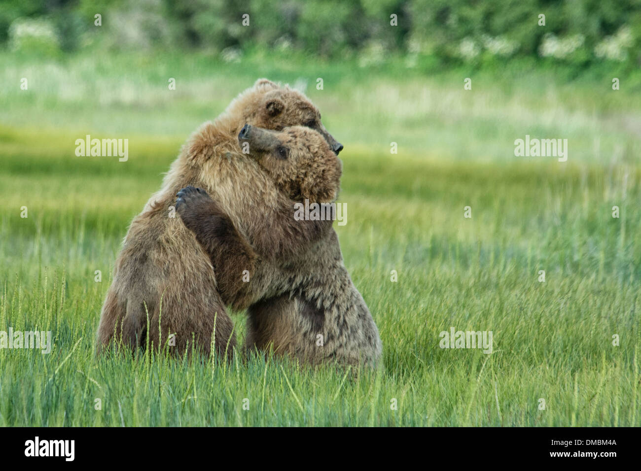 Grizzly Bear Yearling Cubs, Alaskan Brown Bears, Ursus arctos, hugging during a bout of play fighting, Lake Clark Stock Photo