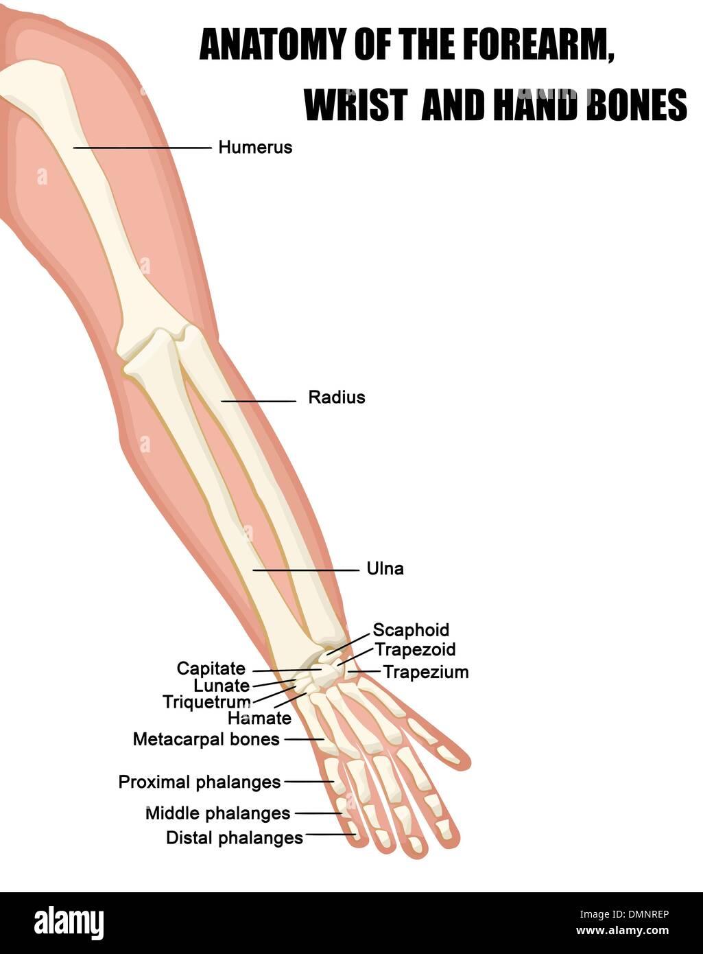 Anatomy Of The Forearm Wrist And Hand Bones Stock Vector Art
