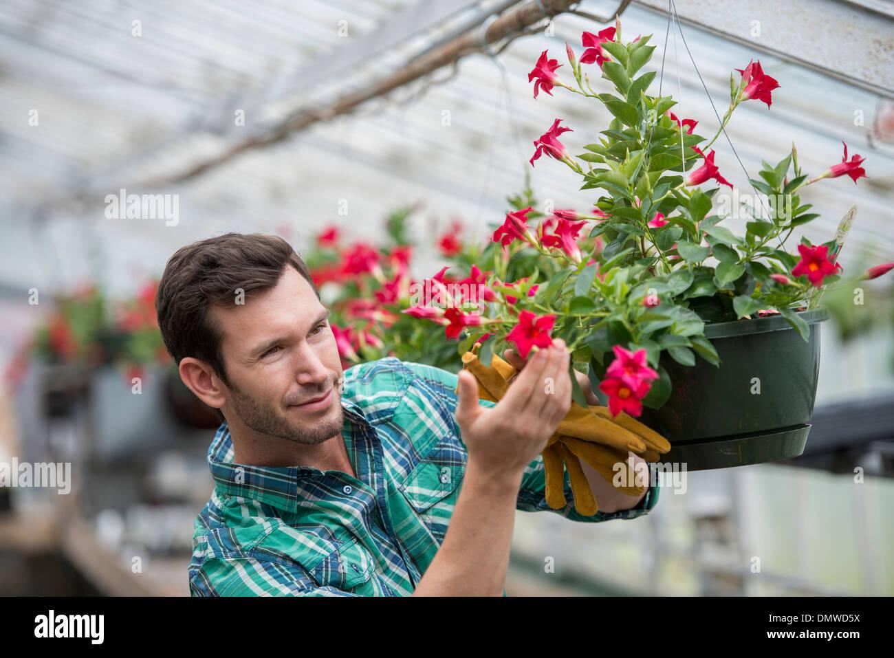 An organic flower plant nursery. A man checking  hanging baskets. - Stock Image