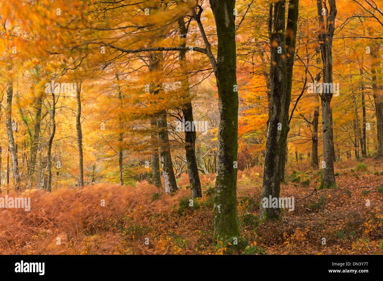Autumn colours in deciduous woodland, Exmoor National Park, Devon, England. Autumn (November) 2013. - Stock Image