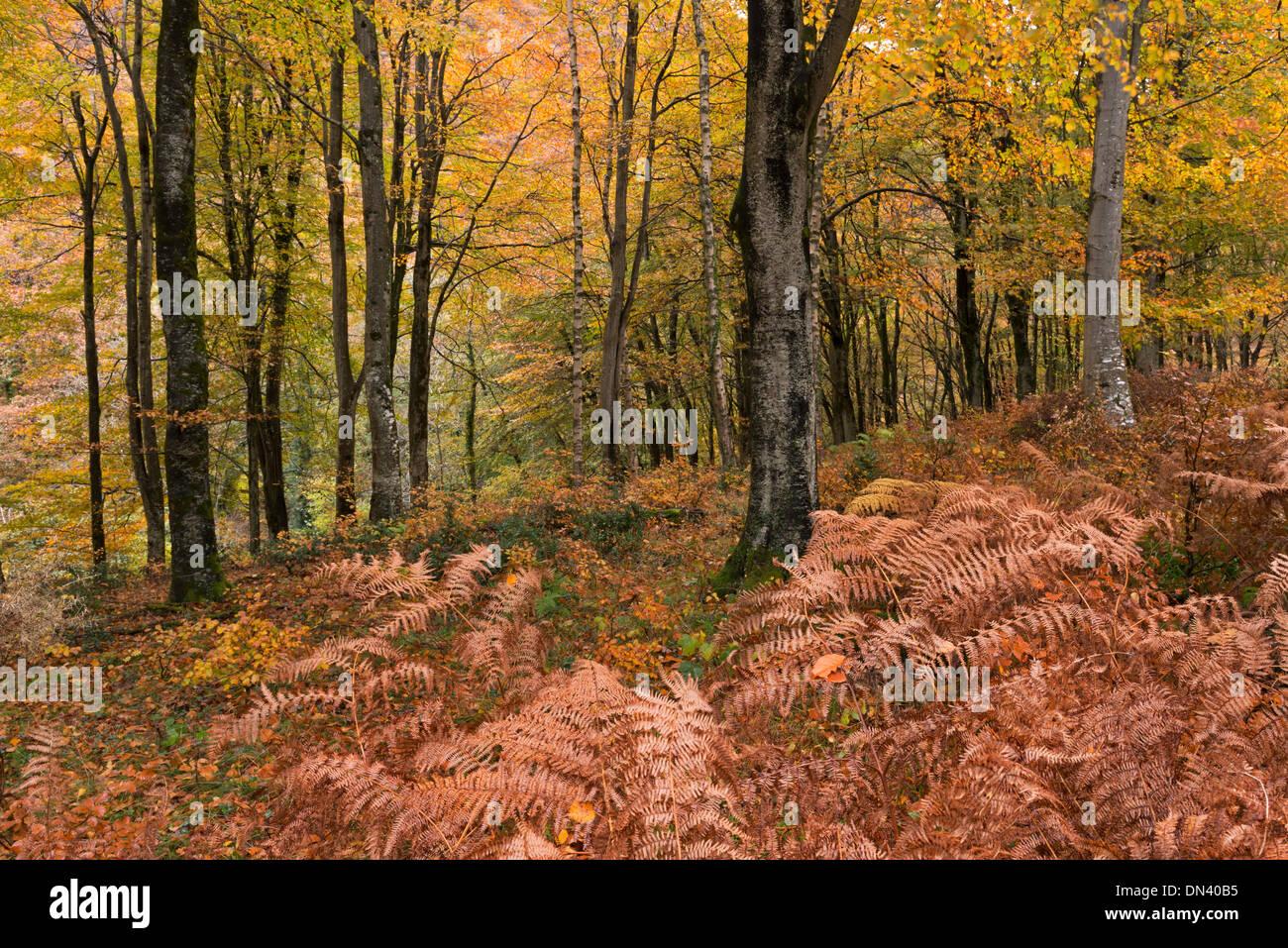 Deciduous woodland in autumn, Exmoor, Devon, England. November 2013. - Stock Image