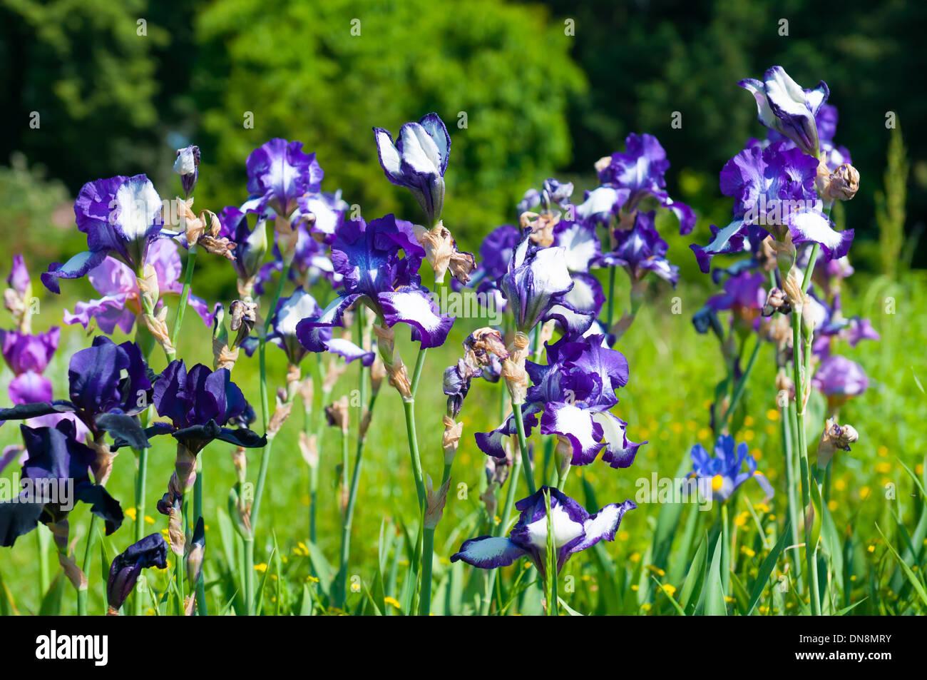 Blue irises blossoming in a garden closeup of iris flower stock blue irises blossoming in a garden closeup of iris flower izmirmasajfo