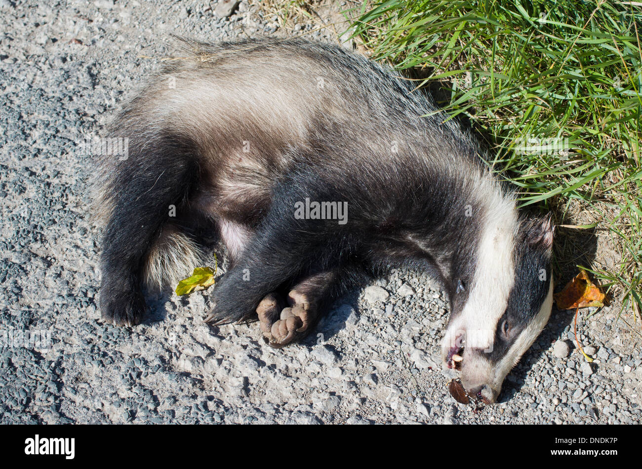 Dead Badger lying at side of road kerb.  Possibly killed by car Stock Photo