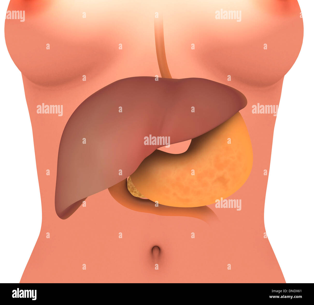Conceptual Image Of Human Digestive System In Female Body Stock