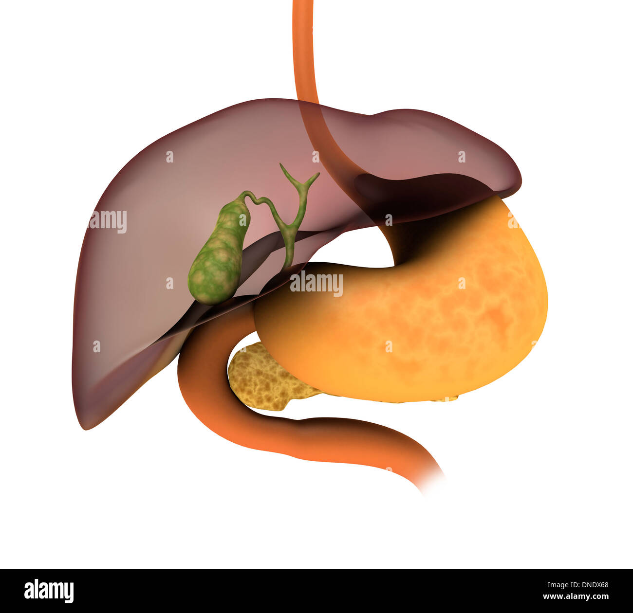 Conceptual Image Of Human Digestive System Showing Gallbladder Stock