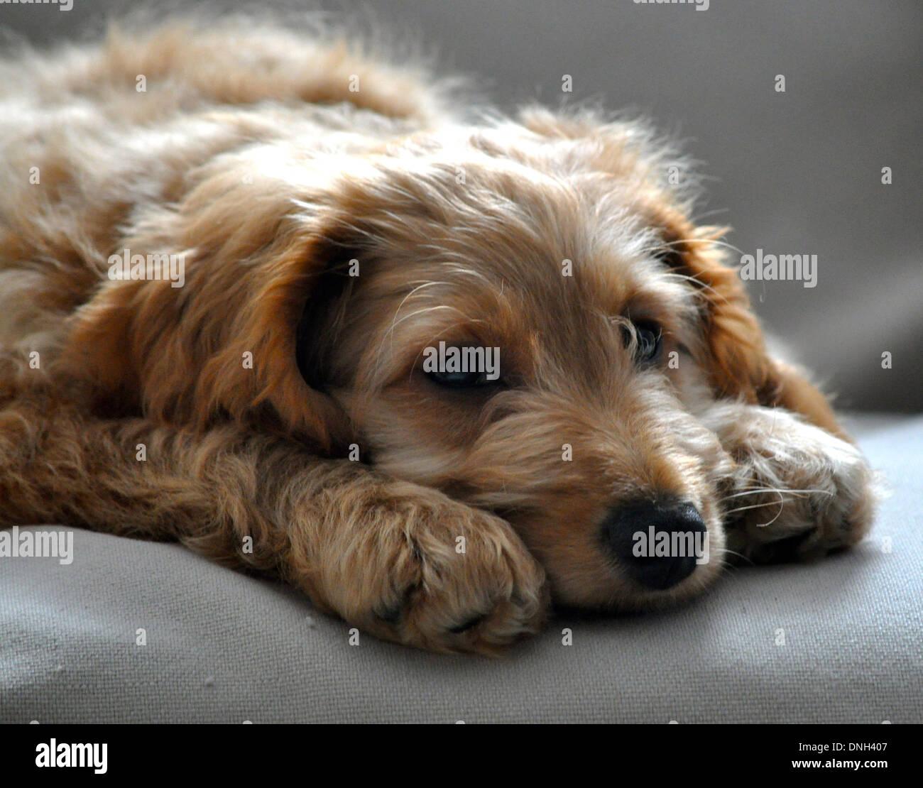 Golden Puppy Dog Looks Sad With Puppy Dog Eyes Stock Photo 64915207