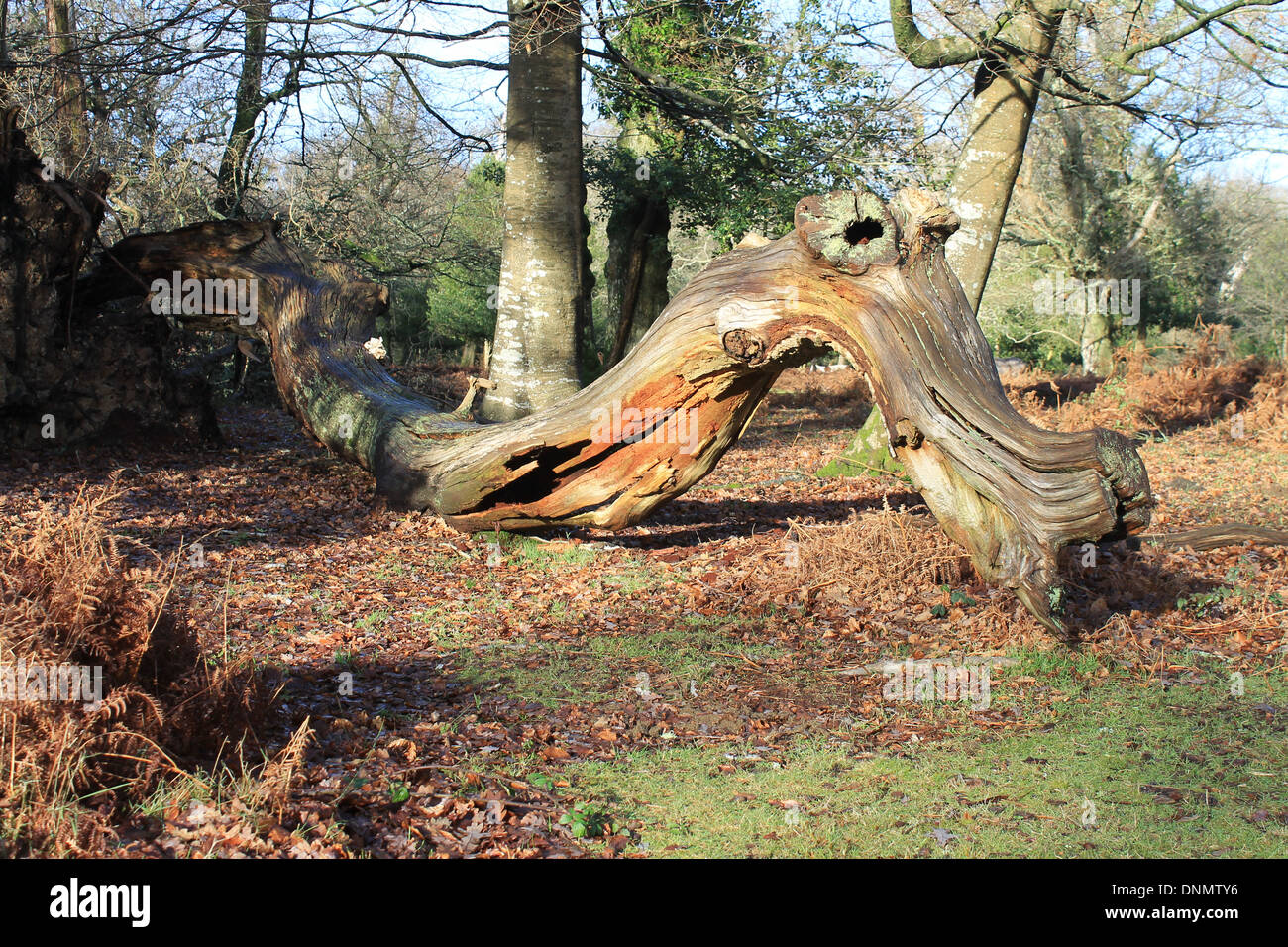 Fallen tree making a beautiful natural sculpture of a sinuous dragon in the New Forest National Park, Hampshire, - Stock Image