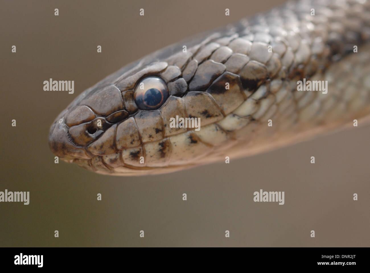 Smooth Snake (Coronella austriaca) on an English heath - Stock Image