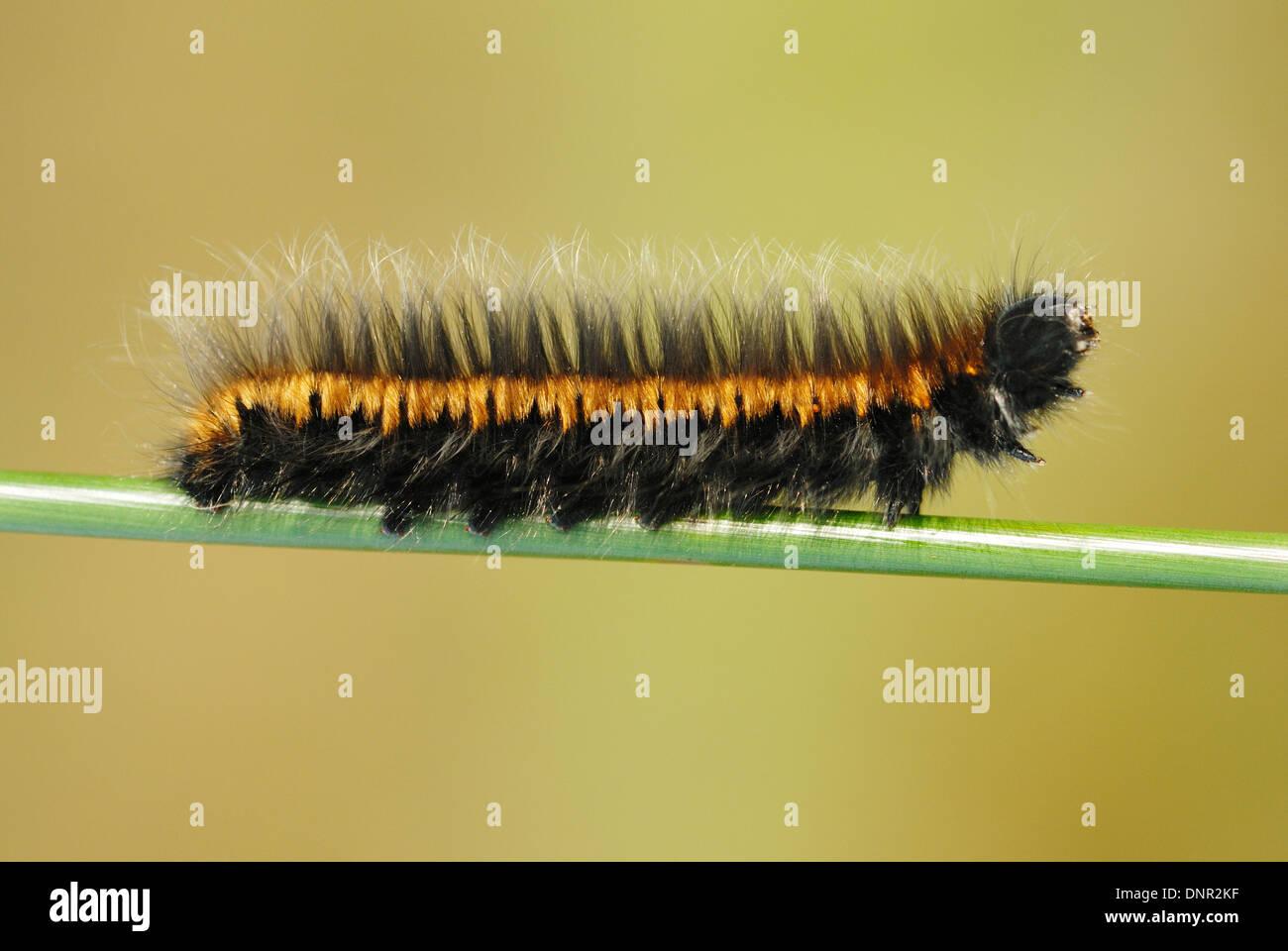 Fox Moth Caterpillar (Macrothylacia rubi) on and english heath - Stock Image
