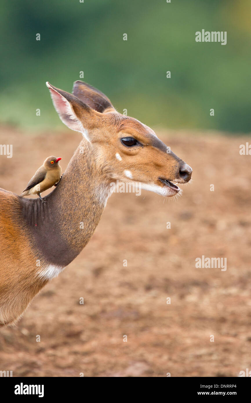 Bushbuck and red-billed oxpecker in Aberdares National Park, Kenya - Stock Image