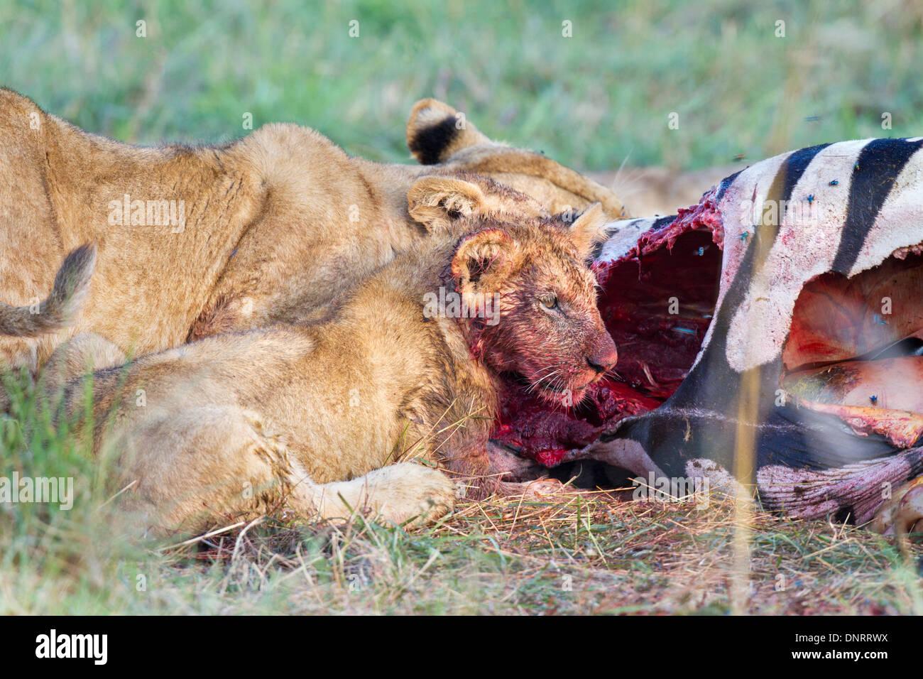 Lion cub eating zebra in Mara Reserve, Kenya - Stock Image