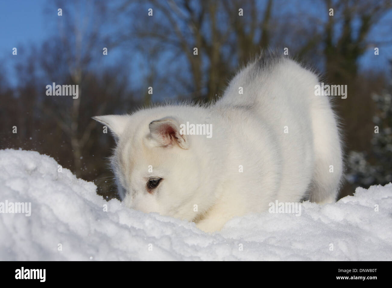 Dog Siberian Husky Puppy Playing In The Snow Stock Photo 65093976