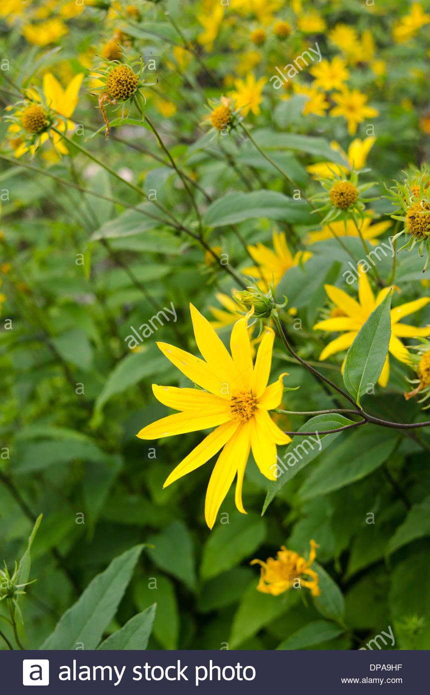 Close up of wild yellow daisy like flowers growing in large plot close up of wild yellow daisy like flowers growing in large plot mightylinksfo