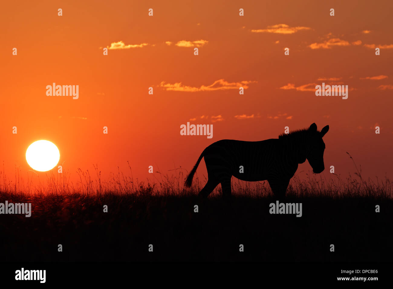 Cape Mountain Zebra (Equus zebra) silhouetted against a red sunrise, South Africa - Stock Image