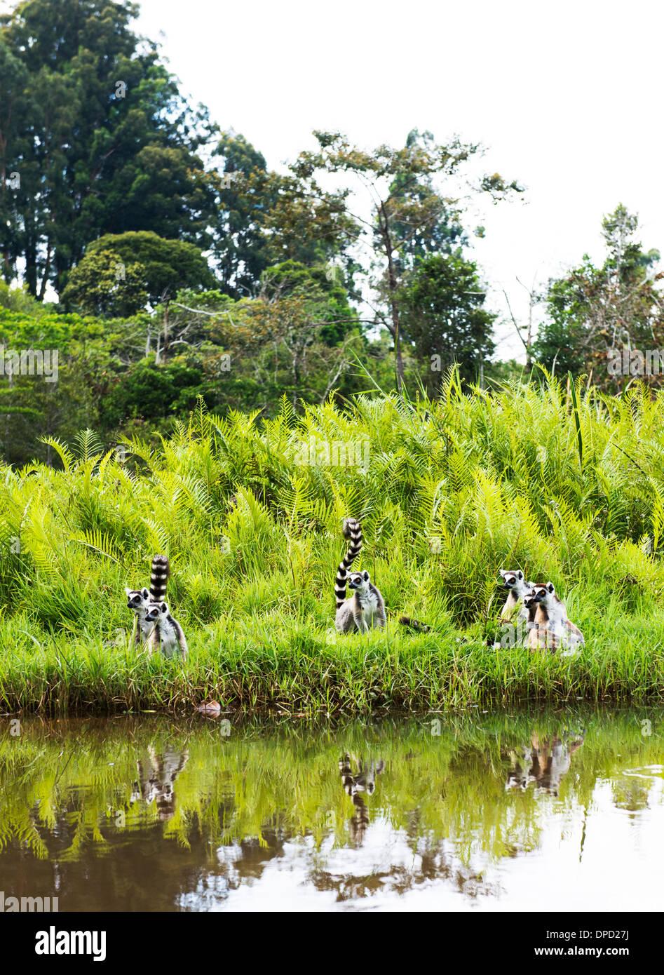 Ring Tailed Lemurs in Madagascar. - Stock Image