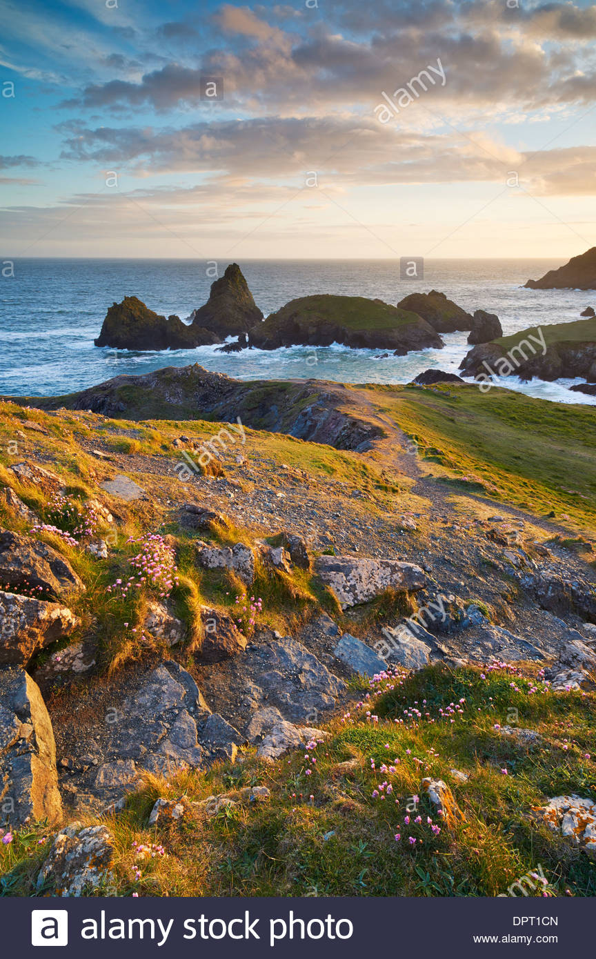 Pathway down to Kynance Cove with Sea Pinks growing beside the steps - Stock Image