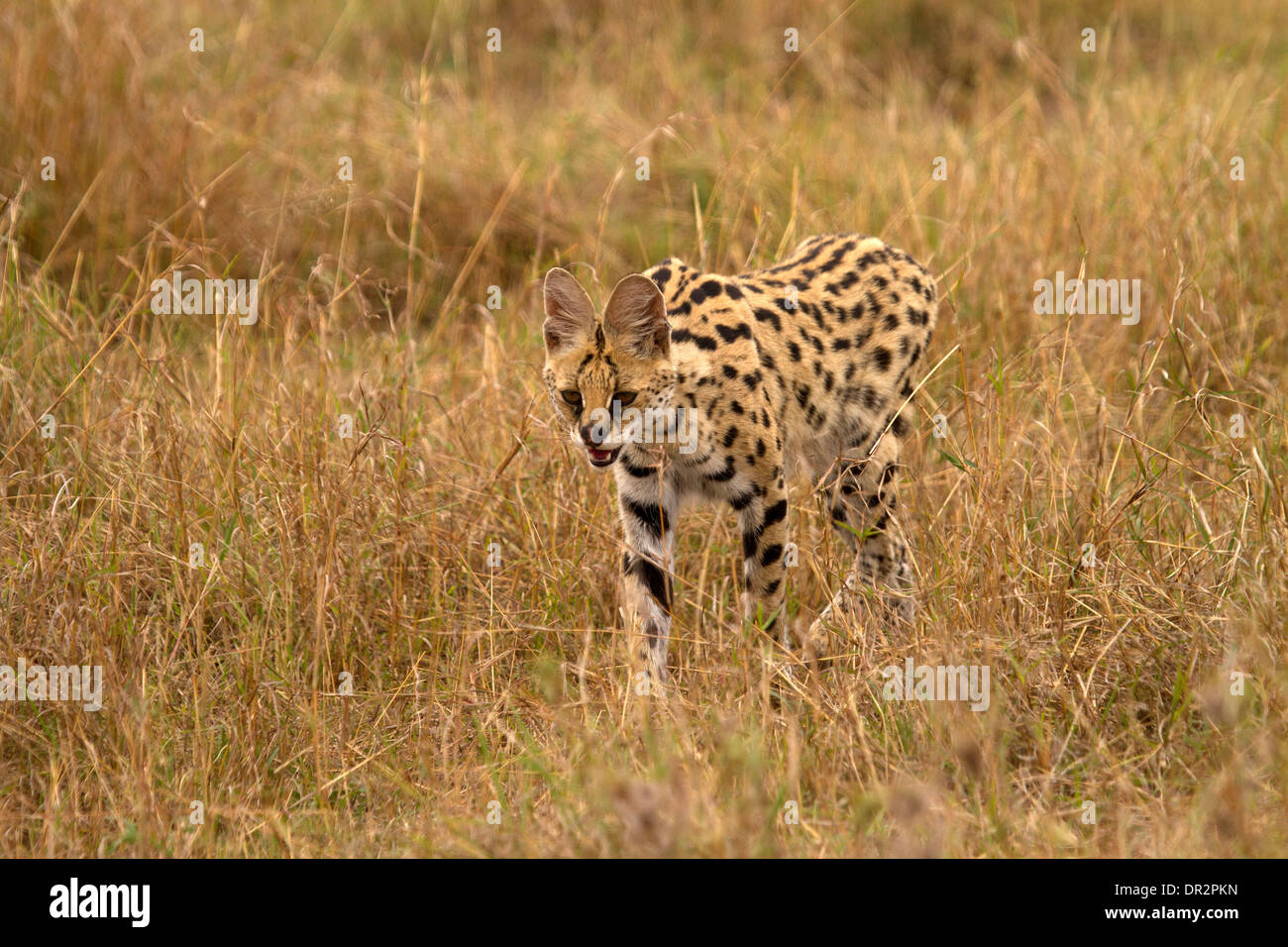 Serval cat, Leptailurus serval hunting - Stock Image