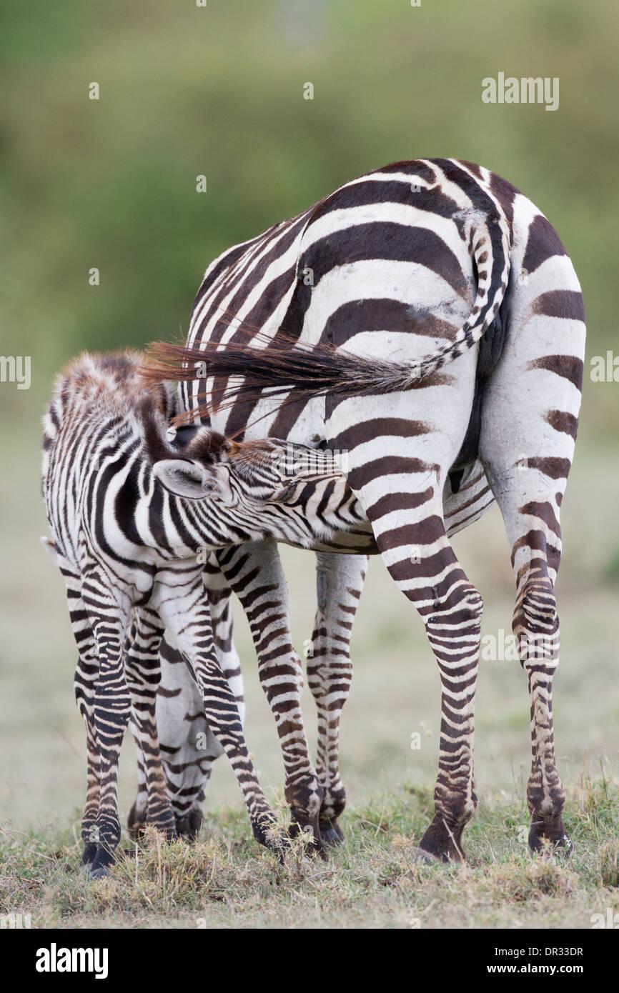 Zebra foal suckling, Kenya - Stock Image