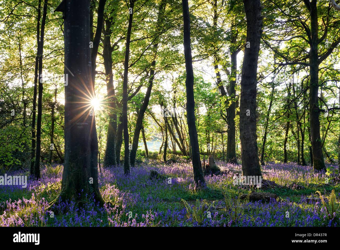 Sun bursting through the trees casting shadows over a carpet of bluebells - Stock Image