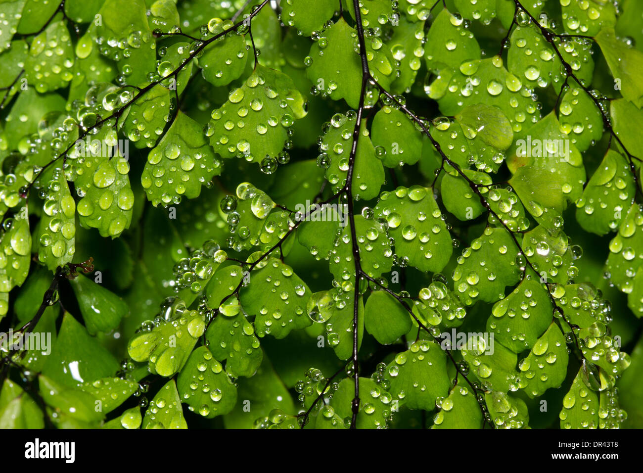 dewdrops-on-the-hardy-maidenhair-fern-adiantum-venustum-DR43T8.jpg