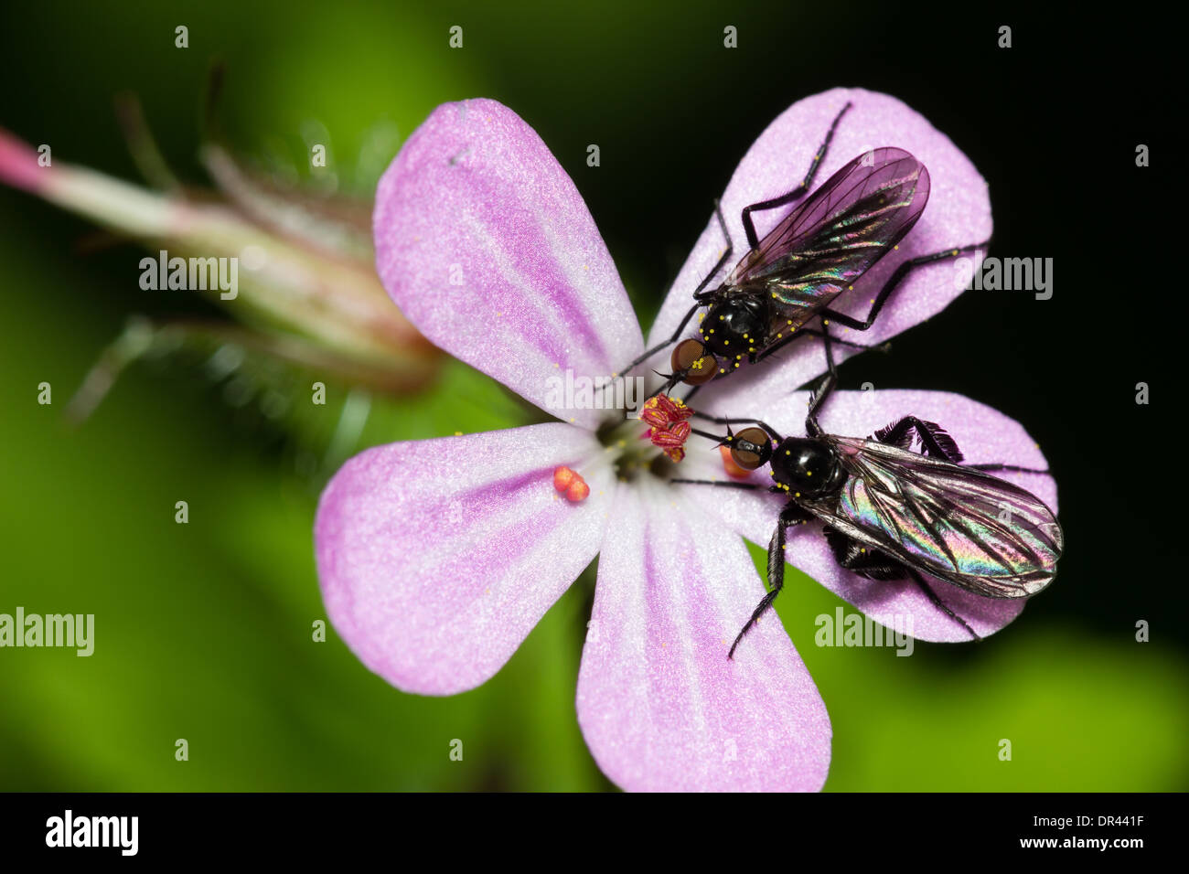 male-and-female-dance-flies-empis-pennipes-feeding-on-geranium-robertianum-DR441F.jpg