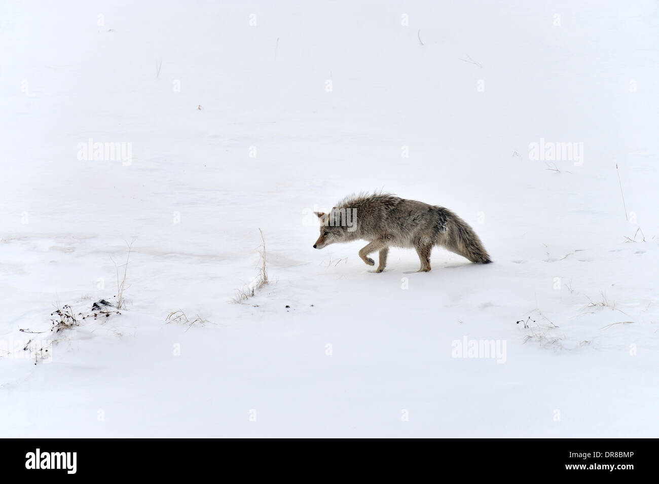A lone coyote stalking a small prey animal - Stock Image