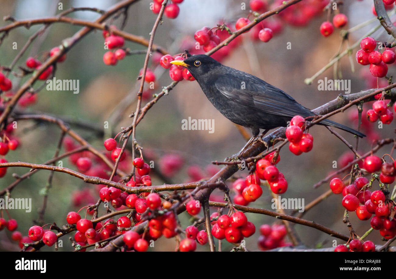 Blackbird (turdus merula) surrounded by red berries of Malus Red Sentinel (Crab Apple) Tree, UK Stock Photo