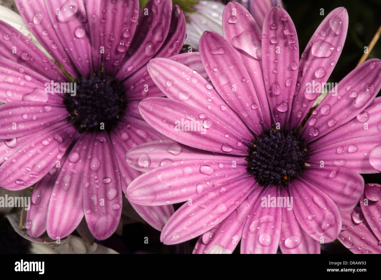 African Daisies - Stock Image