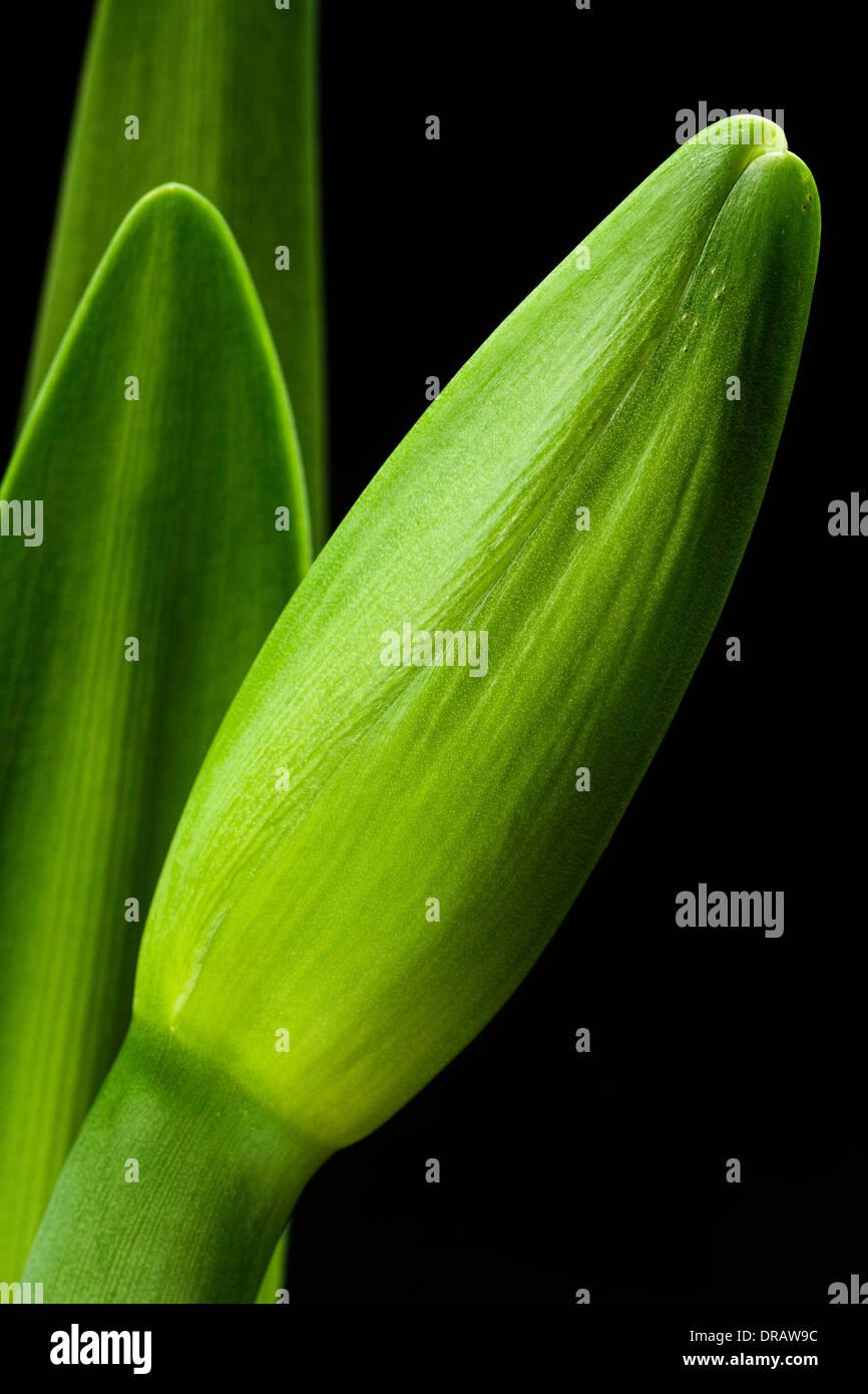 Amaryllis Flower Bud - Stock Image