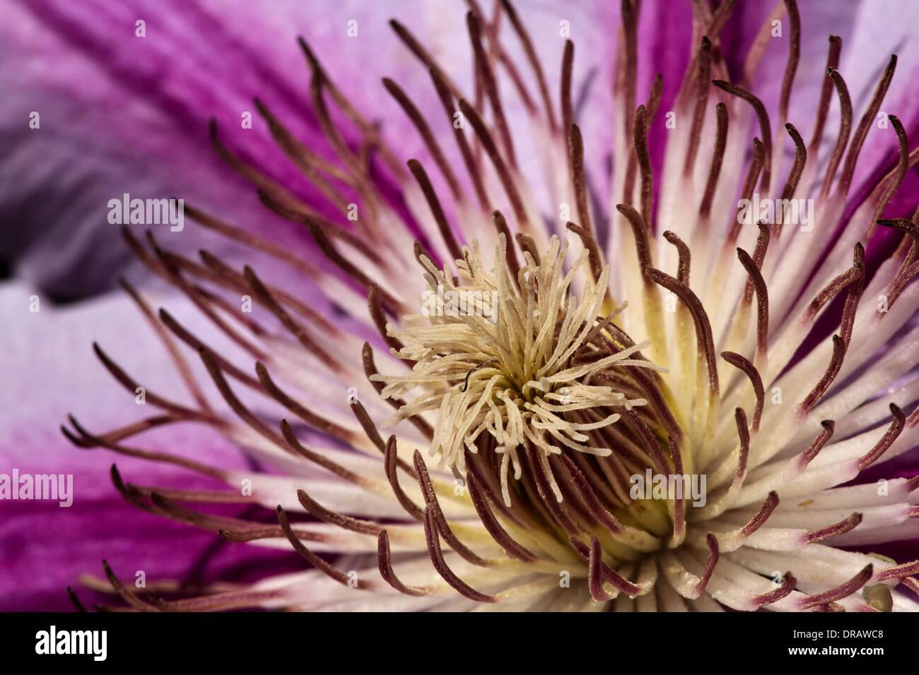 Purple Clematis - Stock Image