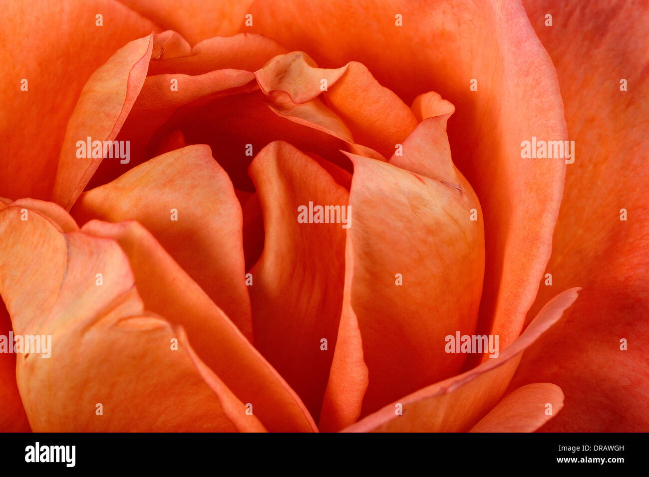Orange Rose - Stock Image